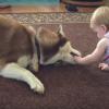 【厳選わんちゃん動画】言葉は無用の優しい世界♥︎ 赤ちゃんのお世話をするベビーシッター犬が可愛すぎる!