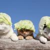 【猫動画】「猫かぶり」じゃなくて「かぶり猫」?? イロイロなモノを乗っけられても嫌がらない猫たち